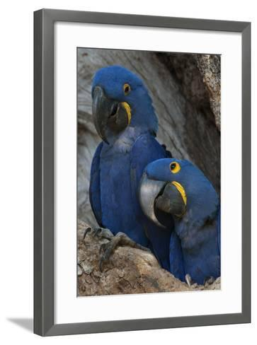South America, Brazil, Pantanal Wetlands, Hyacinth Macaw Mated Pair on their Nest in a Tree-Judith Zimmerman-Framed Art Print