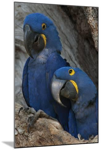 South America, Brazil, Pantanal Wetlands, Hyacinth Macaw Mated Pair on their Nest in a Tree-Judith Zimmerman-Mounted Photographic Print