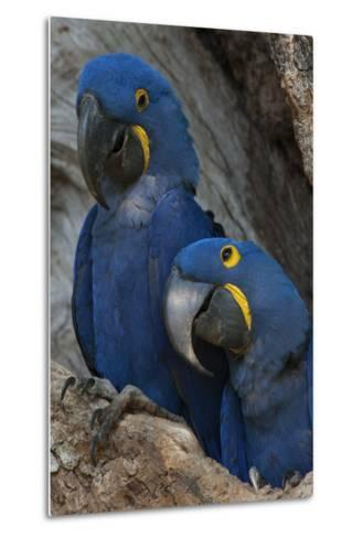 South America, Brazil, Pantanal Wetlands, Hyacinth Macaw Mated Pair on their Nest in a Tree-Judith Zimmerman-Metal Print