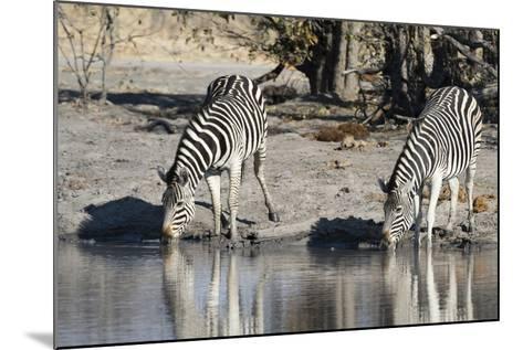 Burchell's Zebras, Khwai Concession, Okavango Delta, Botswana-Sergio Pitamitz-Mounted Photographic Print