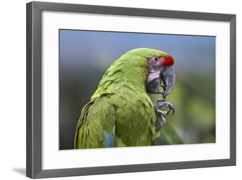 Buffon's Macaw, Costa Rica-Tim Fitzharris-Framed Art Print