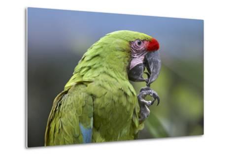 Buffon's Macaw, Costa Rica-Tim Fitzharris-Metal Print