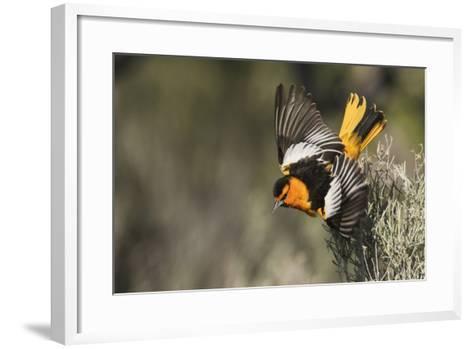 Bullock's Oriole-Ken Archer-Framed Art Print