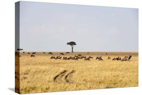 Wildebeest, Masai Mara, Kenya-Sergio Pitamitz-Stretched Canvas Print