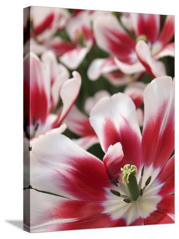 Close-Up of Tulip-Anna Miller-Stretched Canvas Print