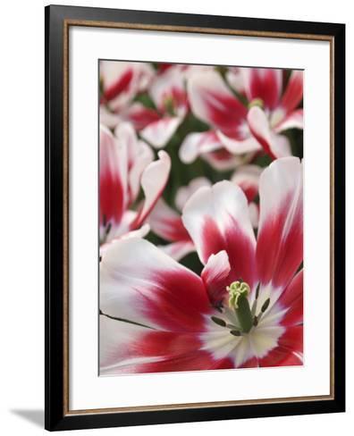 Close-Up of Tulip-Anna Miller-Framed Art Print