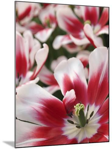 Close-Up of Tulip-Anna Miller-Mounted Photographic Print