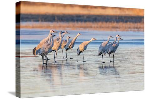 New Mexico, Bosque Del Apache Natural Wildlife Refuge. Sandhill Cranes on Ice at Sunrise-Jaynes Gallery-Stretched Canvas Print