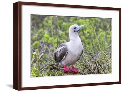 Ecuador, Galapagos Islands, Genovesa, Darwin Bay Beach. Red-Footed Booby Perching in Foliage-Ellen Goff-Framed Art Print