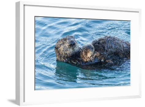 California, Morro Bay. Sea Otter Parent and Pup-Jaynes Gallery-Framed Art Print
