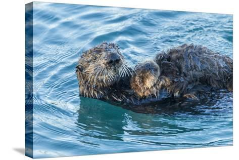 California, Morro Bay. Sea Otter Parent and Pup-Jaynes Gallery-Stretched Canvas Print