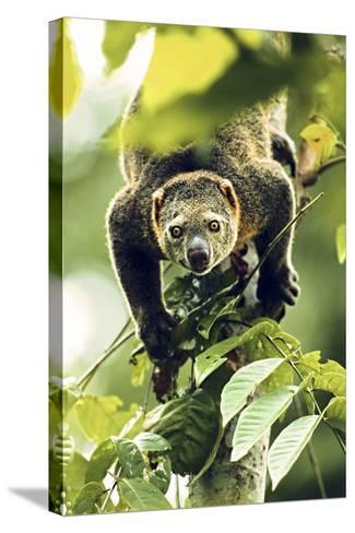 Asia, Indonesia, Sulawesi. Ailurops Ursinus, Bear Cuscus Descending a Tree-David Slater-Stretched Canvas Print