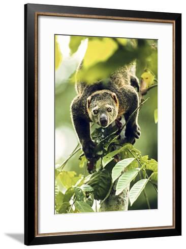 Asia, Indonesia, Sulawesi. Ailurops Ursinus, Bear Cuscus Descending a Tree-David Slater-Framed Art Print