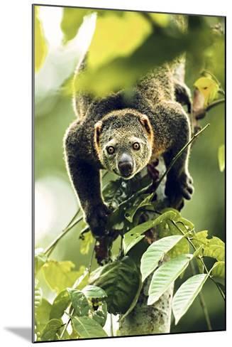 Asia, Indonesia, Sulawesi. Ailurops Ursinus, Bear Cuscus Descending a Tree-David Slater-Mounted Photographic Print