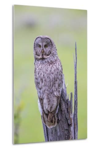 Wyoming, Grand Teton National Park, an Adult Great Gray Owl Sits on a Stump-Elizabeth Boehm-Metal Print