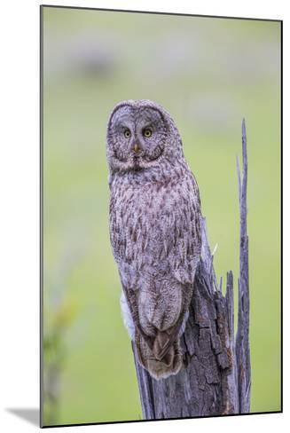 Wyoming, Grand Teton National Park, an Adult Great Gray Owl Sits on a Stump-Elizabeth Boehm-Mounted Photographic Print