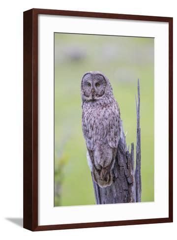 Wyoming, Grand Teton National Park, an Adult Great Gray Owl Sits on a Stump-Elizabeth Boehm-Framed Art Print