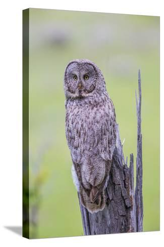 Wyoming, Grand Teton National Park, an Adult Great Gray Owl Sits on a Stump-Elizabeth Boehm-Stretched Canvas Print