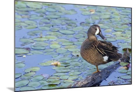Blue-Winged Teal Drake-Ken Archer-Mounted Photographic Print