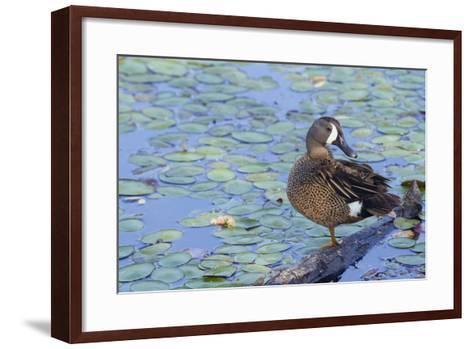 Blue-Winged Teal Drake-Ken Archer-Framed Art Print