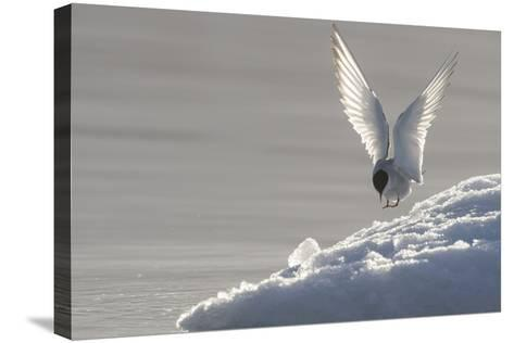 Europe, Norway, Svalbard. Arctic Tern Lands on Ice-Jaynes Gallery-Stretched Canvas Print