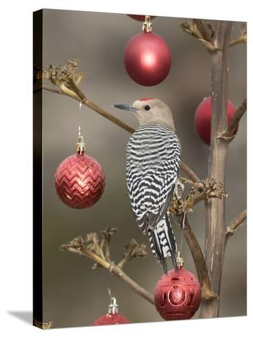Arizona, Buckeye. Male Gila Woodpecker on Decorated Stalk at Christmas Time-Jaynes Gallery-Stretched Canvas Print
