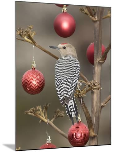 Arizona, Buckeye. Male Gila Woodpecker on Decorated Stalk at Christmas Time-Jaynes Gallery-Mounted Photographic Print