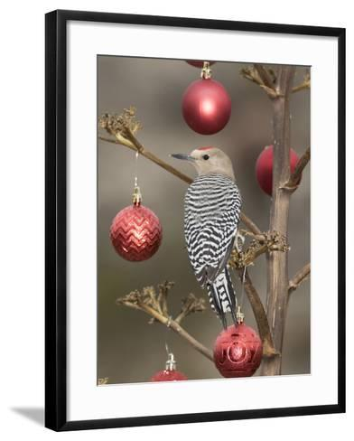 Arizona, Buckeye. Male Gila Woodpecker on Decorated Stalk at Christmas Time-Jaynes Gallery-Framed Art Print