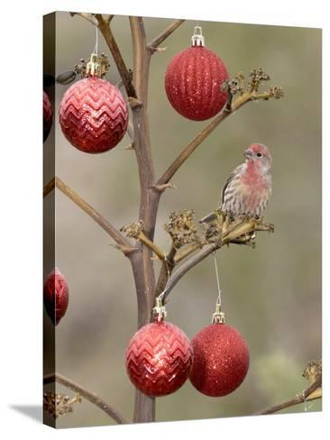 Arizona, Buckeye. Male House Finch Perched on Decorated Agave Stalk at Christmas Time-Jaynes Gallery-Stretched Canvas Print