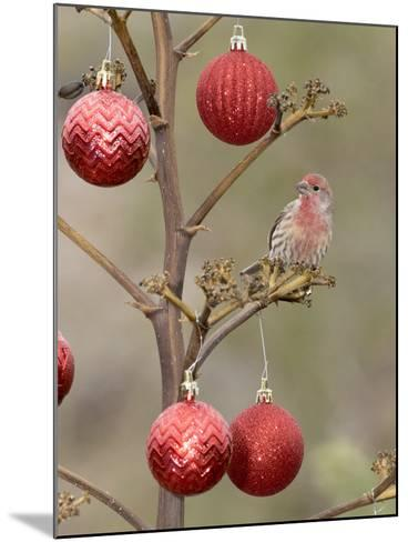 Arizona, Buckeye. Male House Finch Perched on Decorated Agave Stalk at Christmas Time-Jaynes Gallery-Mounted Photographic Print