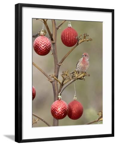 Arizona, Buckeye. Male House Finch Perched on Decorated Agave Stalk at Christmas Time-Jaynes Gallery-Framed Art Print