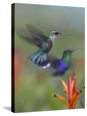 Crowned Woodnymph Hummingbirds Female and Male-Tim Fitzharris-Stretched Canvas Print