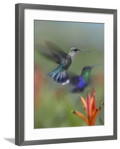 Crowned Woodnymph Hummingbirds Female and Male-Tim Fitzharris-Framed Art Print