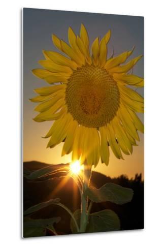 California. Hybrid Sunflower-Jaynes Gallery-Metal Print