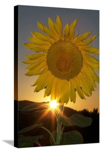 California. Hybrid Sunflower-Jaynes Gallery-Stretched Canvas Print