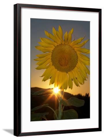 California. Hybrid Sunflower-Jaynes Gallery-Framed Art Print