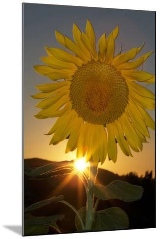 California. Hybrid Sunflower-Jaynes Gallery-Mounted Photographic Print