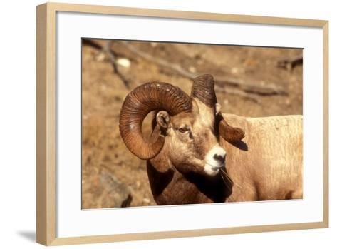 Male Bighorn Sheep Close-Up-John Alves-Framed Art Print