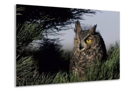 Great Horned Owl in Pine Tree, Colorado-Richard and Susan Day-Metal Print