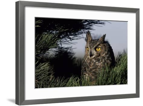 Great Horned Owl in Pine Tree, Colorado-Richard and Susan Day-Framed Art Print