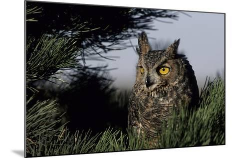 Great Horned Owl in Pine Tree, Colorado-Richard and Susan Day-Mounted Photographic Print