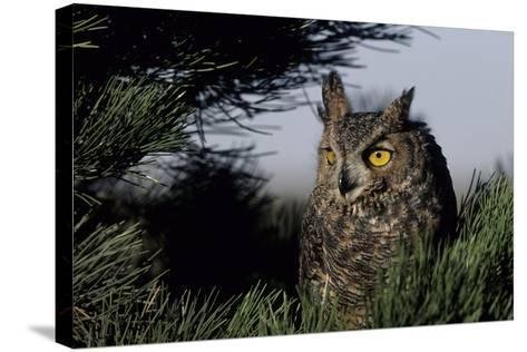 Great Horned Owl in Pine Tree, Colorado-Richard and Susan Day-Stretched Canvas Print