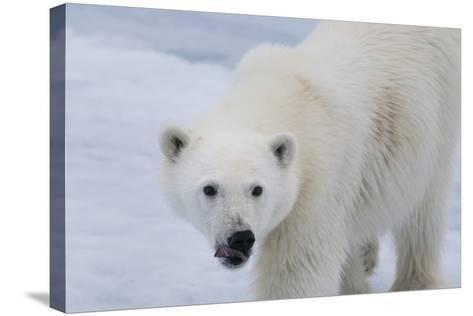 Europe, Norway, Svalbard. Polar Bear Cub Close-Up-Jaynes Gallery-Stretched Canvas Print