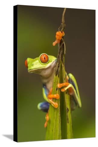 Central America, Costa Rica. Red-Eyed Tree Frog Close-Up-Jaynes Gallery-Stretched Canvas Print