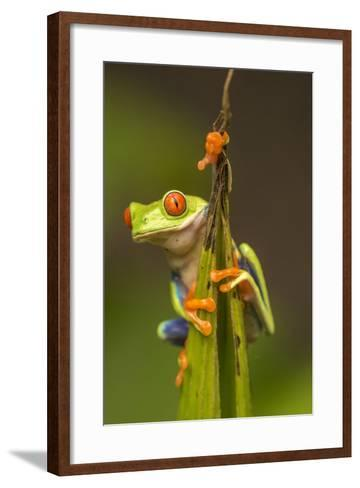 Central America, Costa Rica. Red-Eyed Tree Frog Close-Up-Jaynes Gallery-Framed Art Print