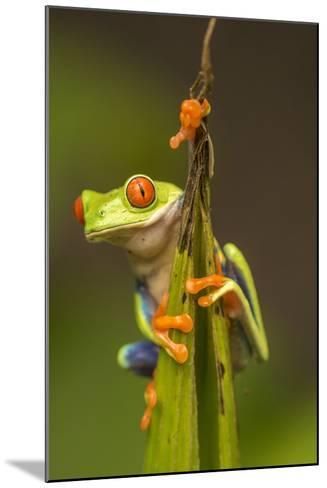 Central America, Costa Rica. Red-Eyed Tree Frog Close-Up-Jaynes Gallery-Mounted Photographic Print