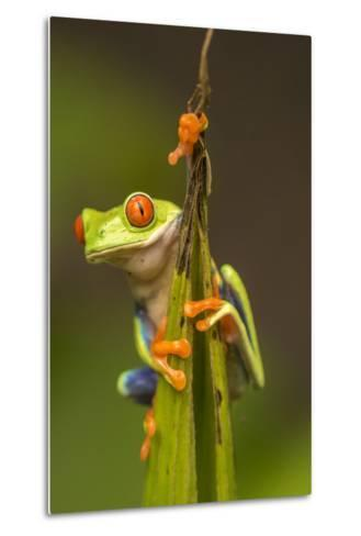 Central America, Costa Rica. Red-Eyed Tree Frog Close-Up-Jaynes Gallery-Metal Print