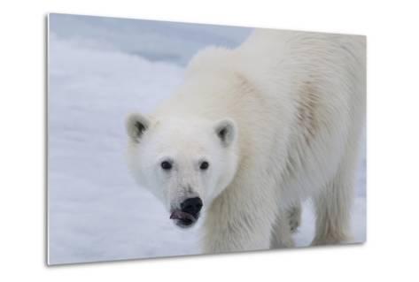 Europe, Norway, Svalbard. Polar Bear Cub Close-Up-Jaynes Gallery-Metal Print