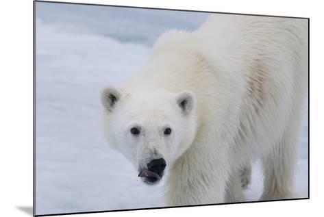 Europe, Norway, Svalbard. Polar Bear Cub Close-Up-Jaynes Gallery-Mounted Photographic Print