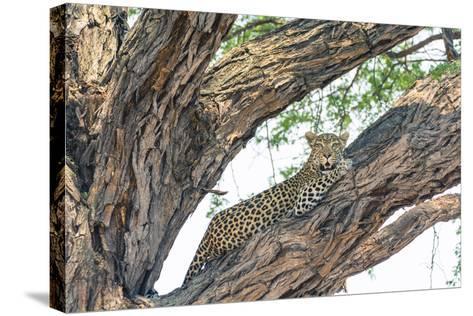 Botswana. Okavango Delta. Khwai Concession. Female Leopard Resting High in a Tree-Inger Hogstrom-Stretched Canvas Print